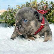 Französische BulldoggejungUnserer super liebe kleine
