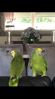 Papageien Paar
