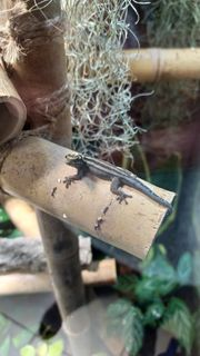 Lygodactylus Kimhowelli 1 1