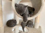 Wunderschöne BKH Kitten Scottish Fold