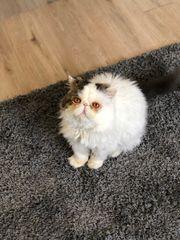 Perser Kater Kater Katze