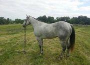 echter Jay Rooster Quarter pferde