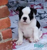 oeb x englische Bulldogge Welpen