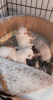Chihuahua Welpen suchen ab Nov