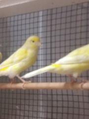 Junge Kanarienvögel zu verkaufen