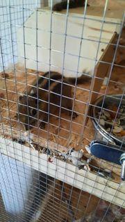 verkaufe chinesische baumstreifenhörnchen