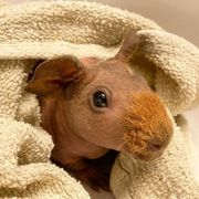 Skinny Pig Nackt Meerschweinchen baby