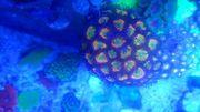Korallen zur Abgabe sps lps