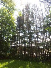 Brennholz Tannen zu selberfällen