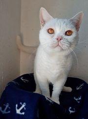 Britisch Kurzhaar - weiblich - weiß