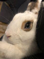 2 männliche Kaninchen abzugeben