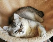 BKH Scottish Fold Kitten - sofort