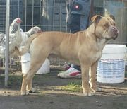 old english Bulldog Deckrüde