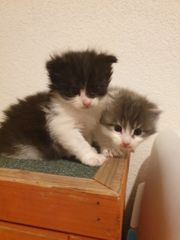 Maine coon kitten 2 Katerchen