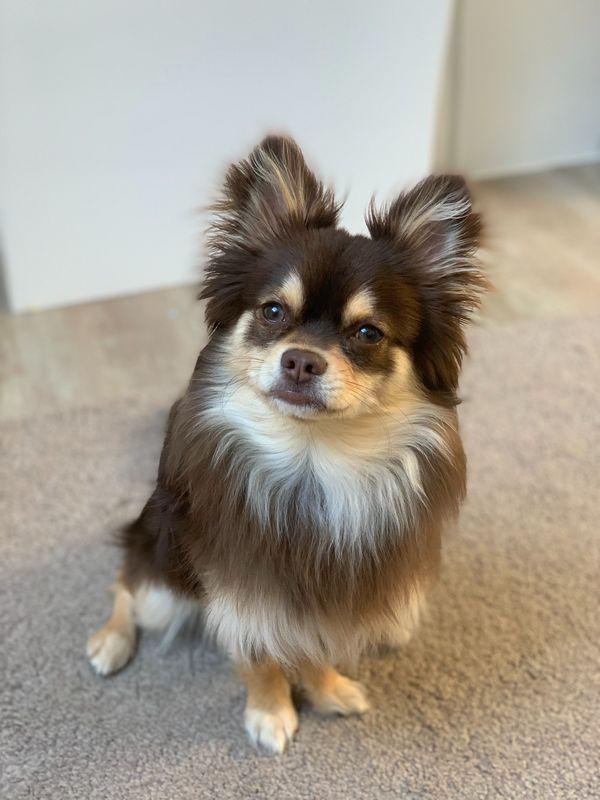 Chihuahua deckrüde Schoko tan