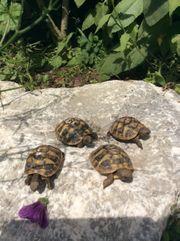 Griechische Landschildkröten THB aus 2018