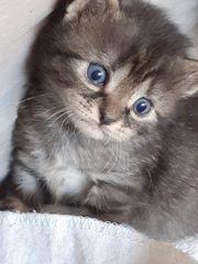 Kitten Babys zu Verkaufen