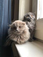 Britische Lang Haar Babykatzen BKH