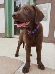 Labrador Welpen braun Pippa und