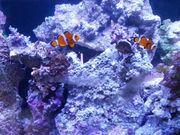 Meerwasser Lebendgestein für Aquarien