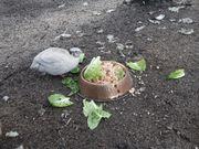 Wachtel Spalter Celadon Hennen