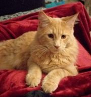 Maine Coon Kater