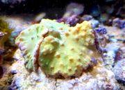 Meerwasser Ohrenleder-Koralle grün klein