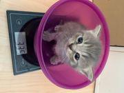Zuckersüße BKH Siam Mix Kitten