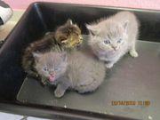 Britisch Kurzhaar Katzenbaby BKH Kitten