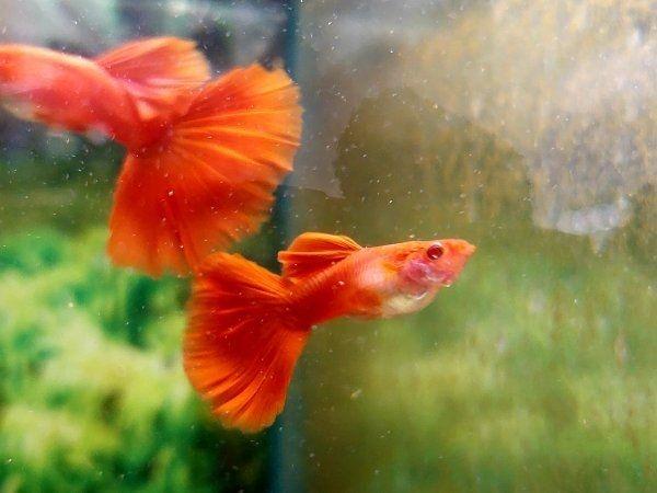 guppy guppys Full Red Albino