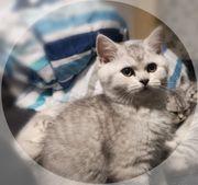 4 hübsche Britisch Kurzhaar Kitten