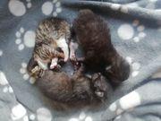 wunderschöne Maine-Coon Mix Kitten alle