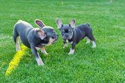 Französische Bulldogge Wellpe Blu and
