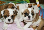 Englische Bulldoggenwelpen verfügbar