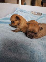 Wunderschöne Chihuahua Welpen Rüden