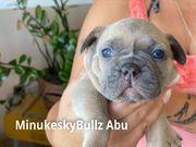 Französische Bulldoggen Welpen der Extraklasse