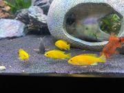 Labidochromis caeruleus yellow farbintensive Jungtiere