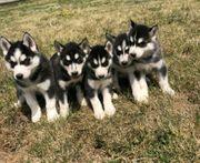 Reine Siberian Huskies mit blauen