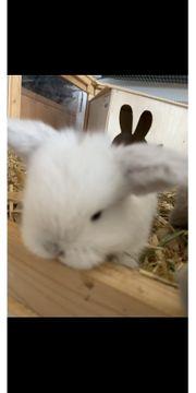 Minilop Zwergwidder Kaninchen