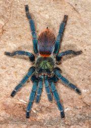 Vogelspinnen verschiedene Slings