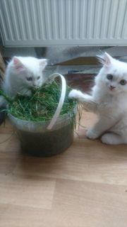 2 Persermäuse perser kitten weibchen