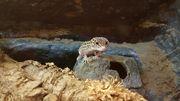 Leopardgecko Damen mit Terrarium