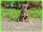 Chihuahua kurzhaar Welpen Rüden Hündinnen