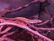 Sechsstreifen-Langschwanzeidechse lat Takydromus sexlineatus 19