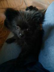 Pomeranian-Chihuahua