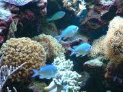 Meerwasser Chromis viridis grünes Schwalbenschwänzchen