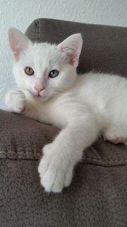 Türkische Angora Khao Manee Katze