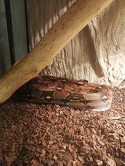 Boa c constrictor DNZ 2011