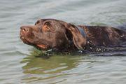 Labrador Retriever 2 Rüden suchen