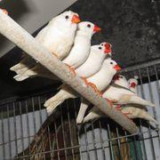 Zebrafinken nur weiße